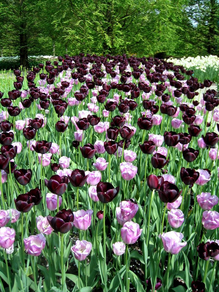 Tulips, esp. Queen of the night