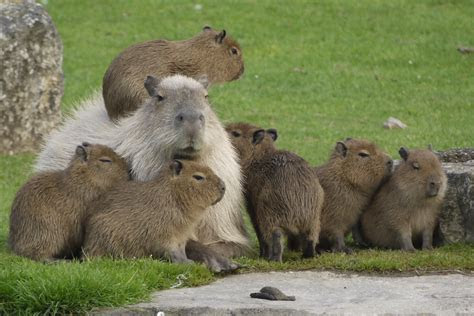 Capybaras are cute, even though they eat their own poop   The Verge