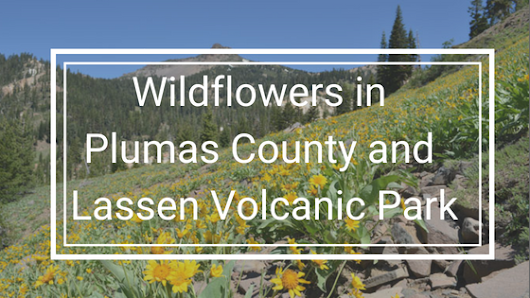 Wildflowers in Plumas County & Lassen Volcanic Park | St. Bernard Lodge blog