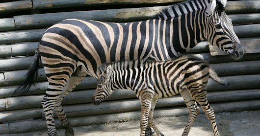 Why do zebras have stripes? It's their missile defense system - Science & Health - Haaretz.com