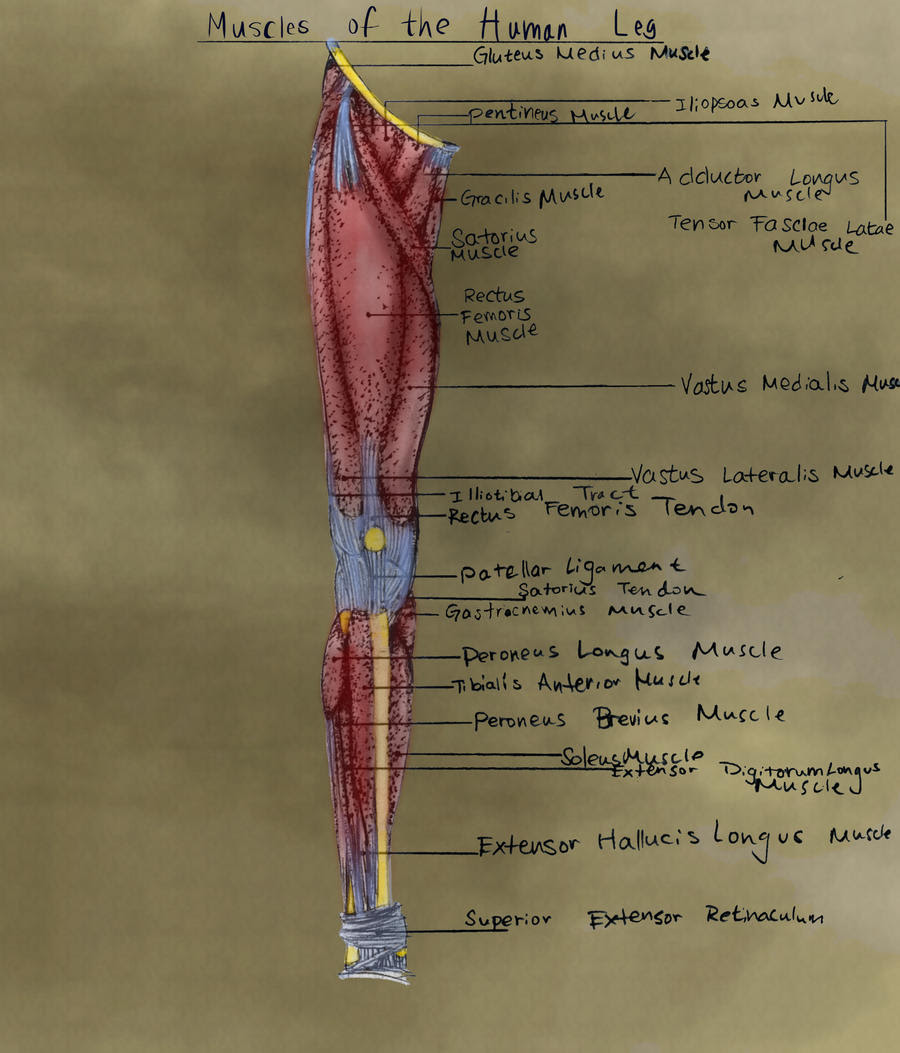 Labeled Diagram of the Human Leg by xKeren on DeviantArt