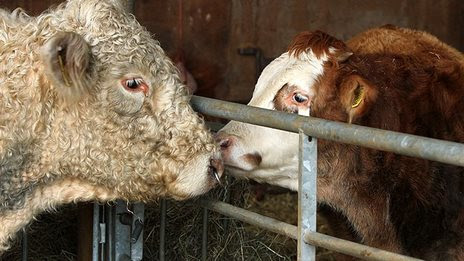 BBC News - Benjy the 'gay' bull: Simpsons' Sam Simon co-funds Hillside Animal Sanctuary home
