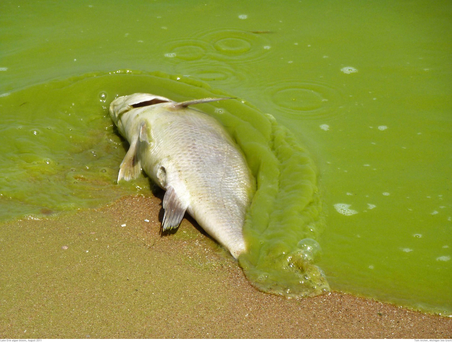 lake erie algae bloomFish_large