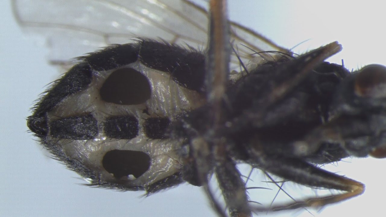 The fly species Coenosia tigrina with two large holes in the abdomen. The holes are an effect of infection with the fungus Strongwellsea tigrinae. The infective spores are discharged through these holes. Image credit: University of Tokyo