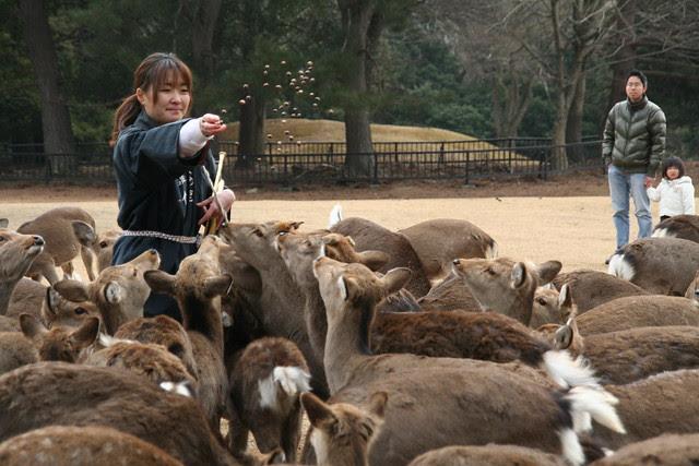 奈良の鹿寄せ 2011 - 08