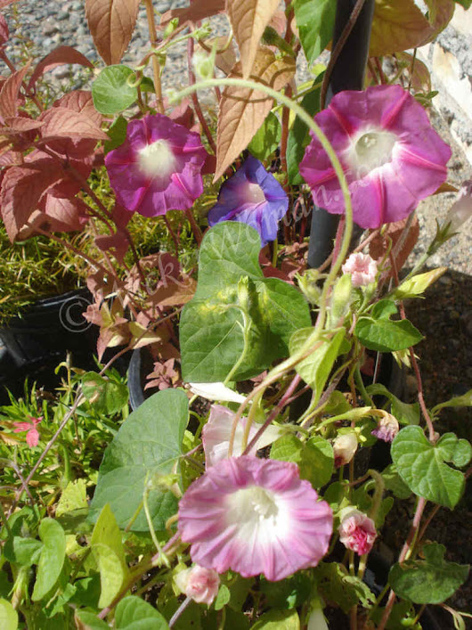 Sunny Morning Glories Fall Blooming