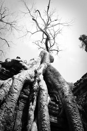 TreeonTempleTaProhm