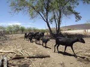 O gado também sofre com a seca. Crédito: Acervo Diaconia.