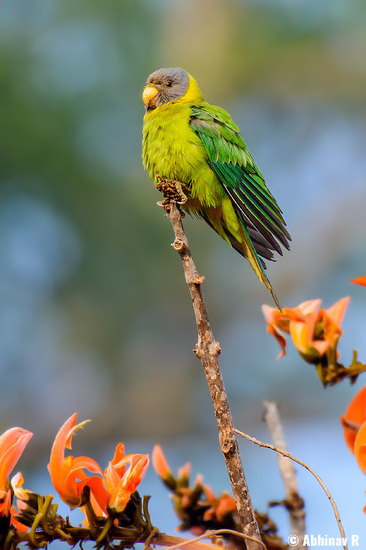 Plum-headed Parakeet - Psittacula cyanocephala | PhotoValiant