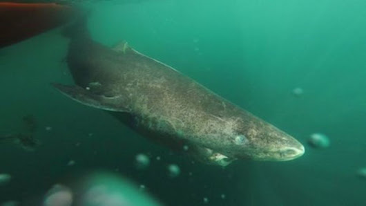 400-year-old Greenland shark 'longest-living vertebrate' - BBC News