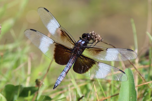 IMG_0876_Widow_Skimmer_Dragonfly_at_Ouabache