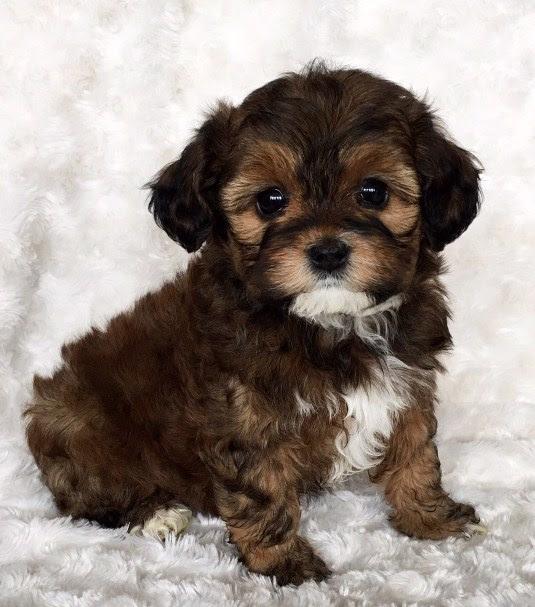 Maltipoo Puppies for Sale Near Me | Maltipoo