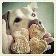 Got Cookie? Zeus loves these treats from #K9Cafe in Charlotte #dogstagram #ilovemydogs #bigdog #ears #instadog #dogtreats #love #hearts