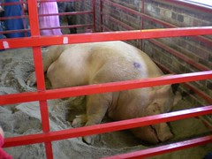 Iowa State Fair - biggest boar