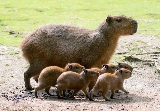 Capybara Pet Care Tips