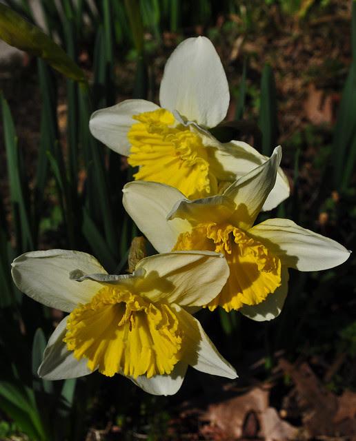 Narcissus 'Ice Follies' (2)