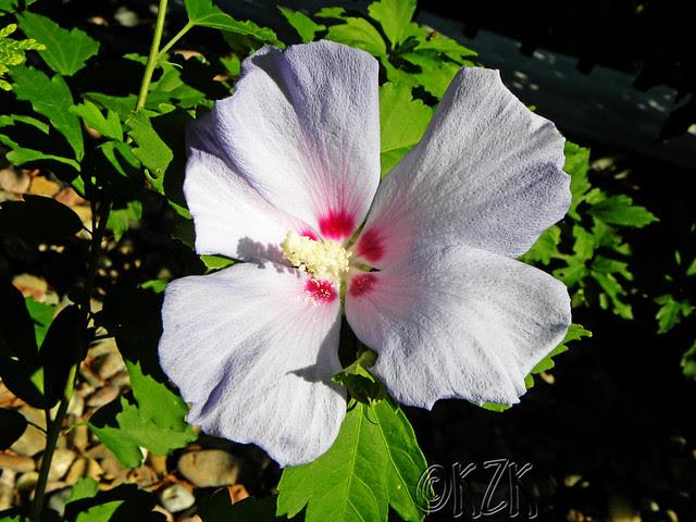 DSCN1809 Rose of Sharon