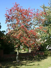 Tree with Red Berries