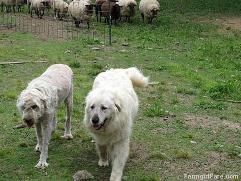 (28-25) Daisy loves Marta's new look - and she smells a lot better too - FarmgirlFare.com