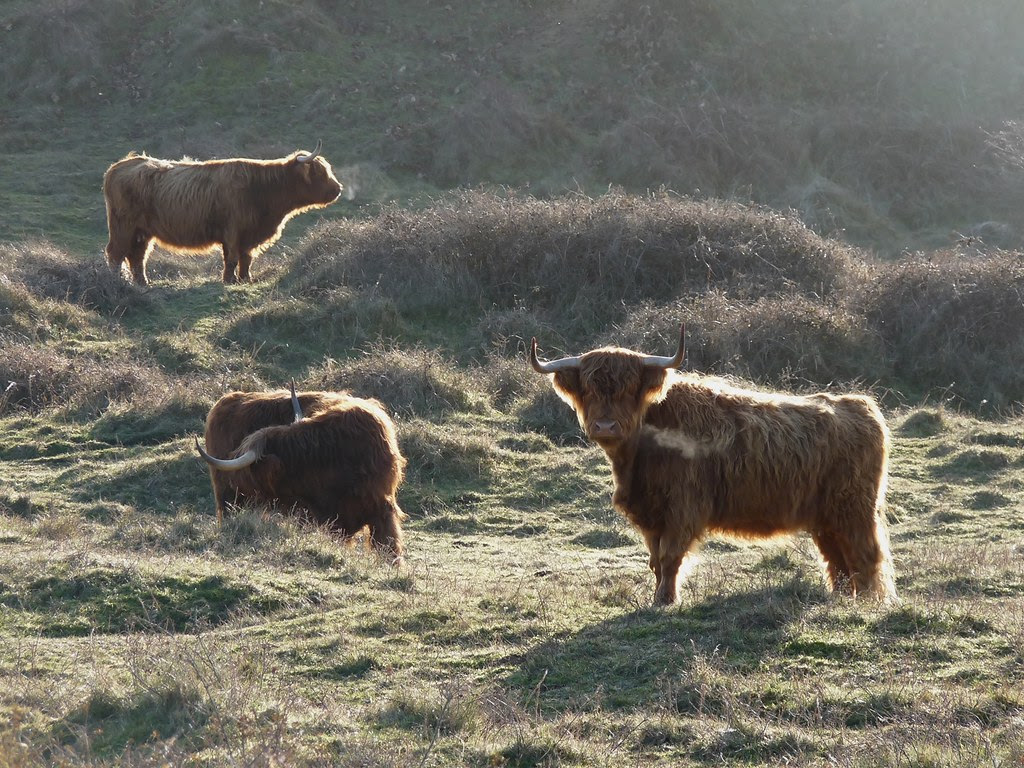 23743 - Kenfig Cattle