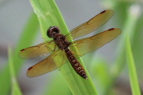 IMG_1085_Eastern_Amberwing_Dragonfly