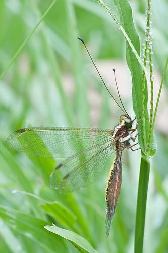 owlfly from Maliau Basin IMG_7137 copy