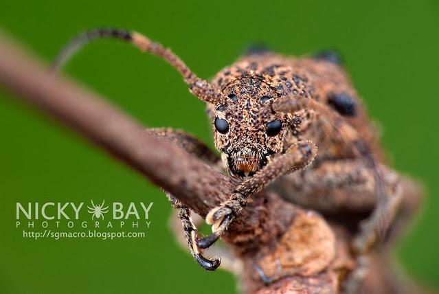 Longhorn Beetle (Cerambycidae) - DSC_1989