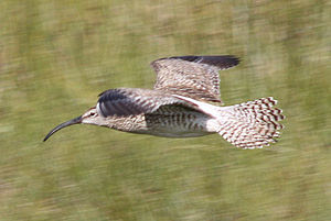 English: Whimbrel (Numenius phaeopus) in Lonso...