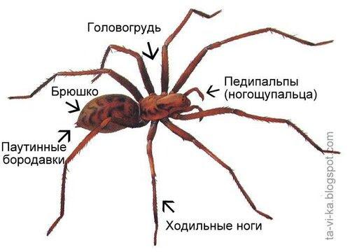 строение паука