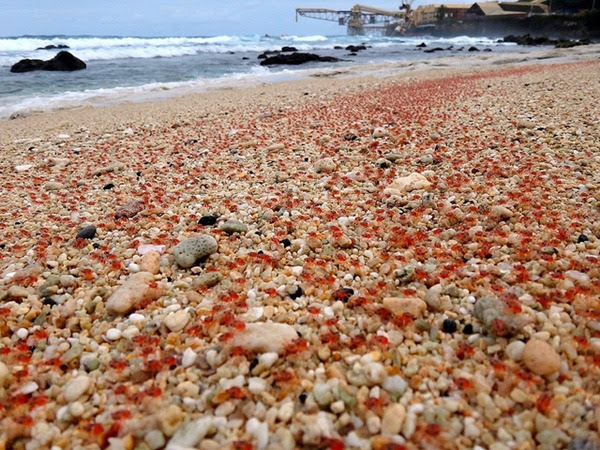 7-Christmas-Island-baby-red-crabs