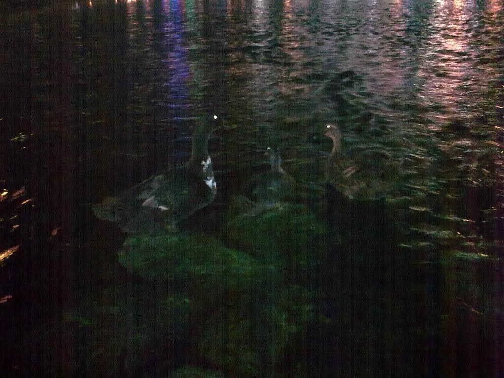 야간촬영 - 대구 신천둔치 청둥오리 가족 night shot of wild duck family at Sinchundunchi, Daegu #2