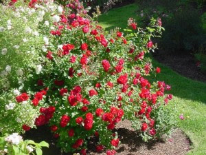 local-records-office-landscape-roses