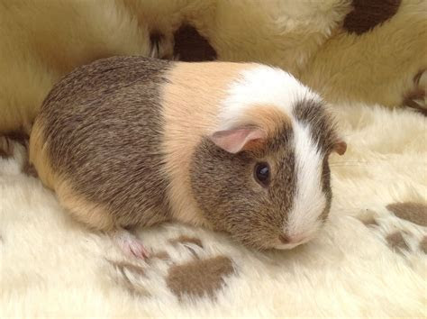 short haired female guinea pig for sale   Market Rasen, Lincolnshire   Pets4Homes