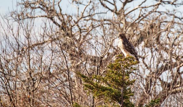 hawk posing