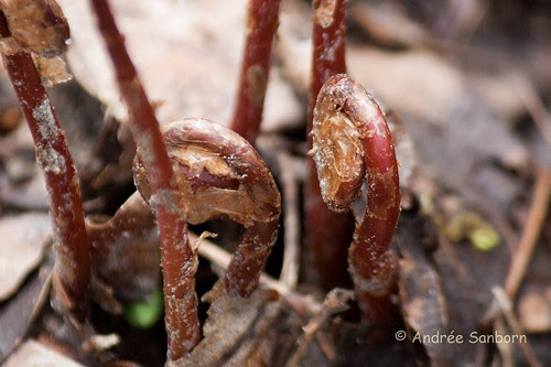 Sensitive Fern fiddleheads (Onoclea sensibilis)-1.jpg