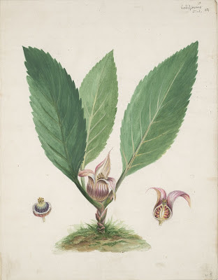 broad leafed plant drawing