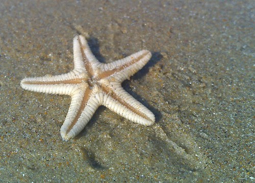 Star fish on the Suratkal beach