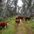 Cattle grazing ban to stand