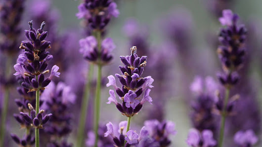 aromatherapy-blog - Exploring the Lamiaceae plant family and its essential oils