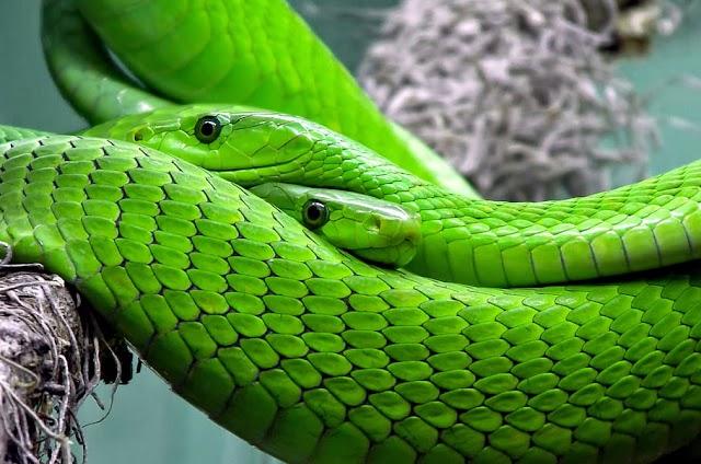 Les serpents verts