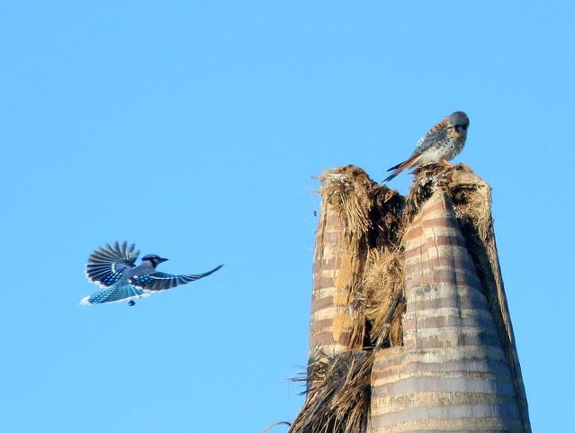 Blue Jay and Kestrel 20101210