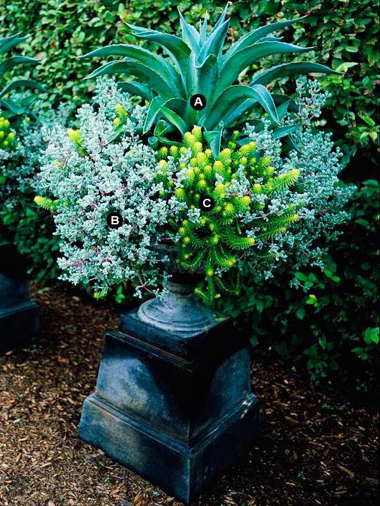 Century plant in urn