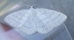 Common White Wave moth