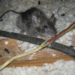 Get Rid of Rats - Georgia Pest and Wildlife Specialists, LLC