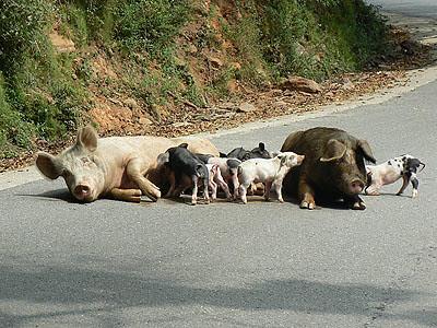 cochons.jpg