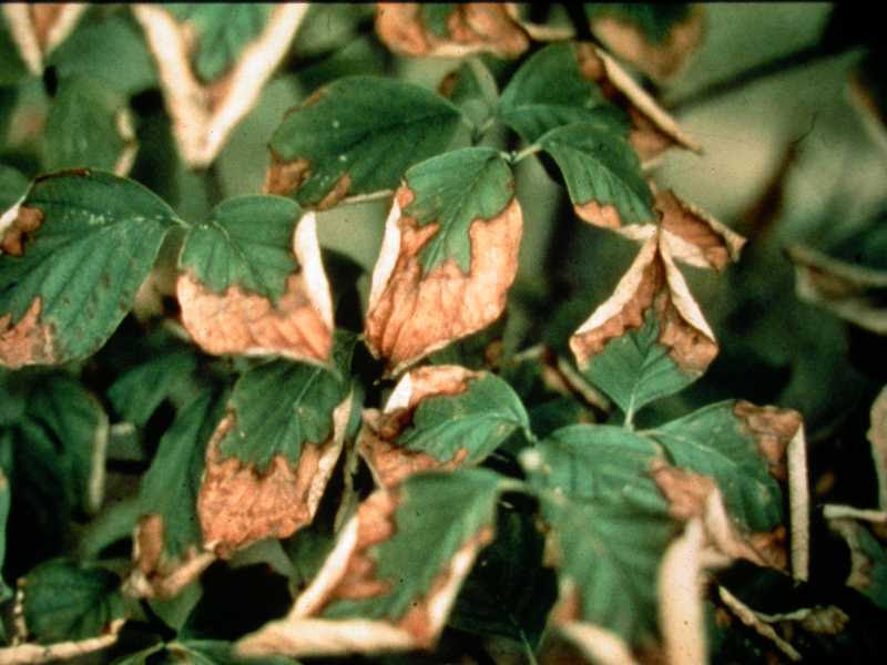 Flowering Dogwood Problems