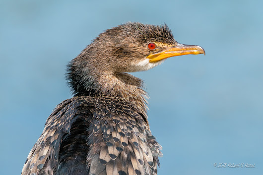 South Africa | Reed Cormorant