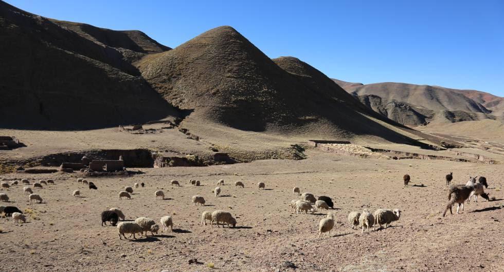 En los elevados páramos de los Andes, en donde los efectos del cambio climático se sienten en toda su crudeza, el cultivo de la patata y la cría de llamas y alpacas son las únicas actividades viables.