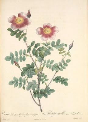Rosa Pimpinellifolia Flore Variegato