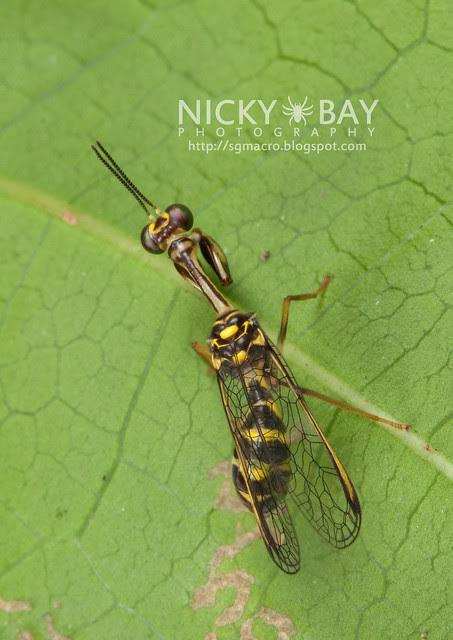 Mantisfly (Mantispidae) - DSC_9638